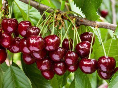 u pick cherries yarra valley